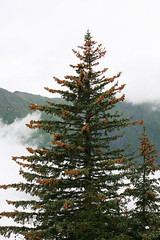 larch, evergreen, branch, tree, plant, temperate coniferous forest, spruce,
