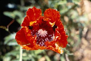 O poppy 1977 EH