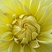 Stourhead Yellow Dahlia