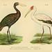 Bilder-atlas zur Wissenschaftlich-populären Naturgeschichte der Vögel in ihren sämmtlichen Hauptformen