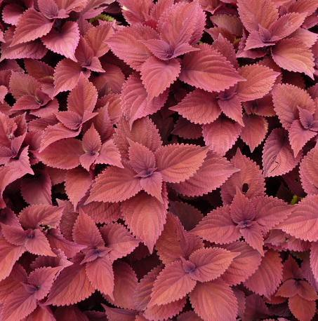 red plant nature leaves foliage coleus wheaton naturesfinest cantignypark wheatonil