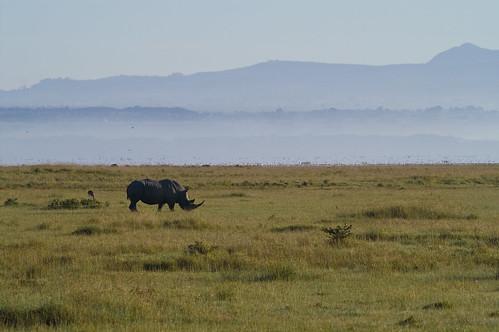 tiere kenya ken nakuru ort nashorn breitmaulnashorn ereignis lakeviewestate kenyazanzibar2007