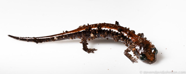 Red Backed Salamander, Cootes Store, Virginia