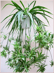 Hanging pot of Chlorophytum comosum 'Variegatum' (White/White-edged Spider Plant, Variegated Spider Ivy), Sept 6 2011