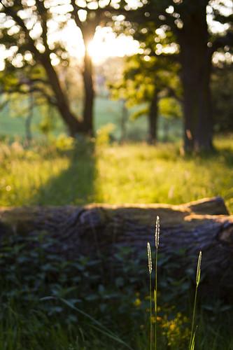 sunset tree oak sweden meadow fallen canonef35mmf2 straws östergötland canoneos7d hovetorp