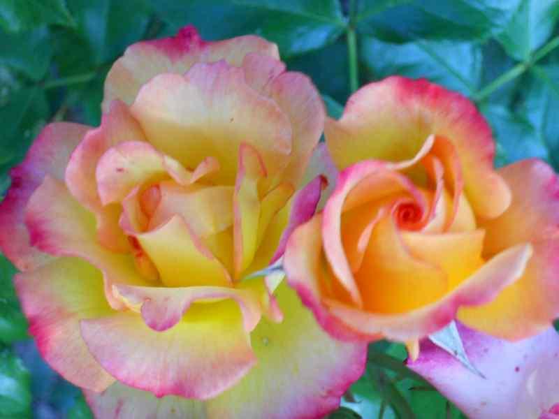 Rosa 'Madame A. Meilland' 2