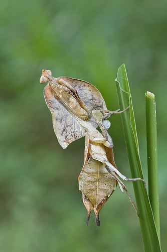Beautiful dead leaf mantis, <i>Deroplatys truncata</i> IMG_6108 copy
