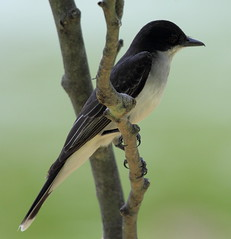 Eastern Kingbird at CG