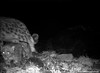 This camera trap photo of a snow leopard mother and her cubs was taken in August 2009 in Mongolia's Tost Mountains. The cubs are estimated to be approximately 3 months old at the time this photo was taken. The Panthera-Snow Leopard Trust team saw these snow leopards a few times after this photo was taken, once when they stopped and looked into the camera on Christmas Eve.   Learn how Panthera is working throughout Asia to save snow leopards like these at www.panthera.org/programs/snow-leopard/snow-leopard-program