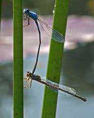 Dragonfly Pair Botanical Garden St Louis