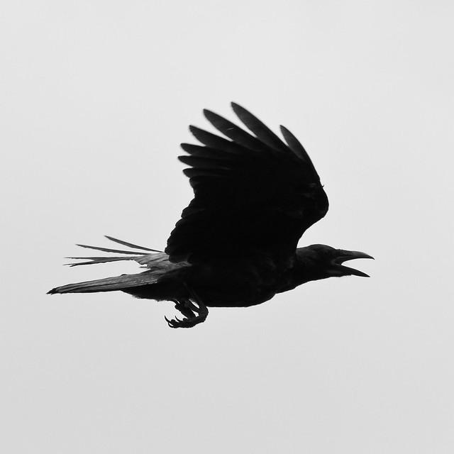 5959605272 45ea94856f z jpgCrow Flying Away Drawing