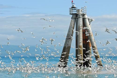 ocean sea seagulls water birds alaska flying feeding flock flight homer volcanoes kenaipeninsula frenzy ringoffire cookinlet kachemakbay kenaipeninsulaborough seastructures homerspitroad homerport