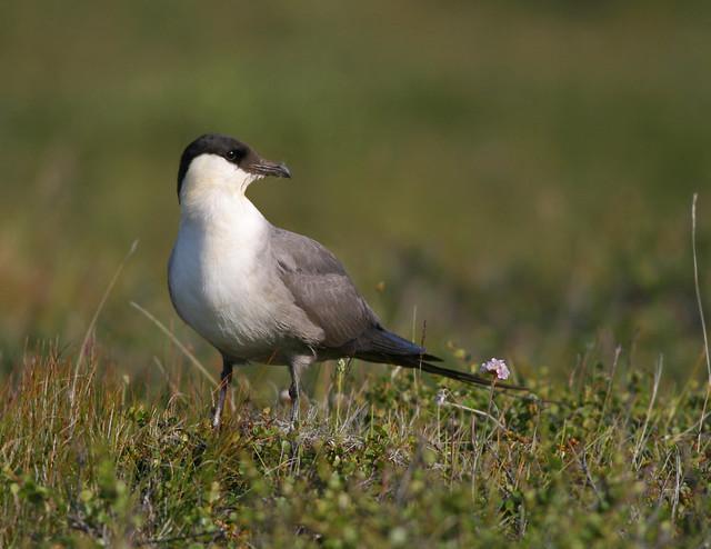 Fjallkjói / Long-tailed Skua / Stercorarius longicaudus