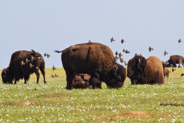 cowbird and bison relationship
