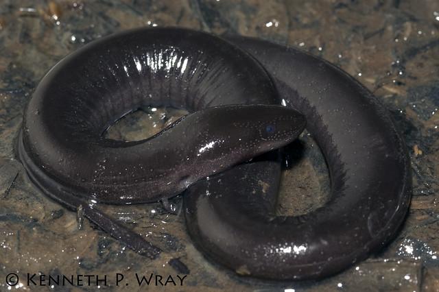 Amphiuma means (Two-toed Amphiuma) Flickr - Photo Sharing!