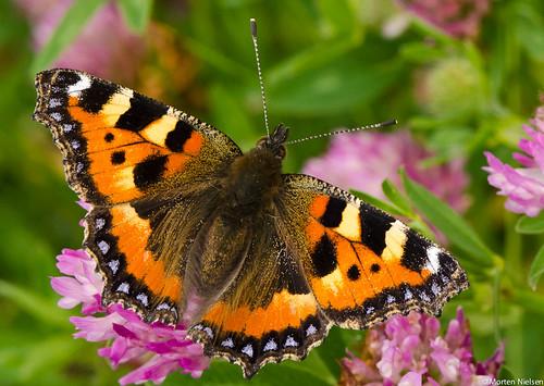 butterfly aglaisurticae smalltortoiseshell nikon10528vr