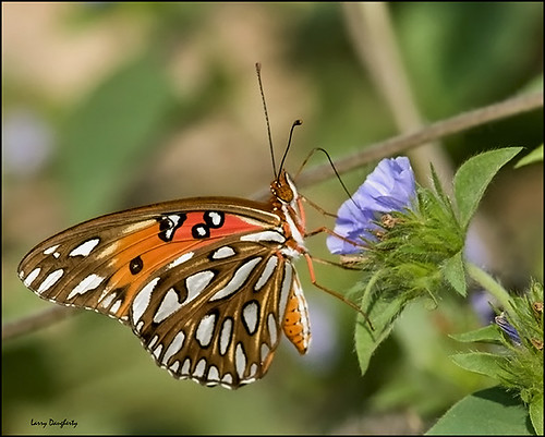 A gulf fritillary feeding on a wild flower