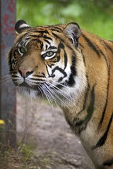 Eye of the Tiger, Chester Zoo