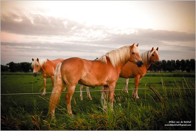 haflinger horses flickr photo sharing