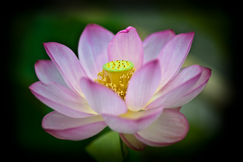 summer flower macro june japan lotus saitama istock crazyshin earlysummer 2011 gyoda nikond3 古代蓮の里 行田 makroplanart2100zf dsa7164 istock2