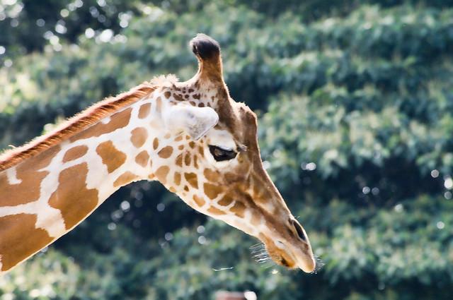 TOBU ZOO giraffe きりん