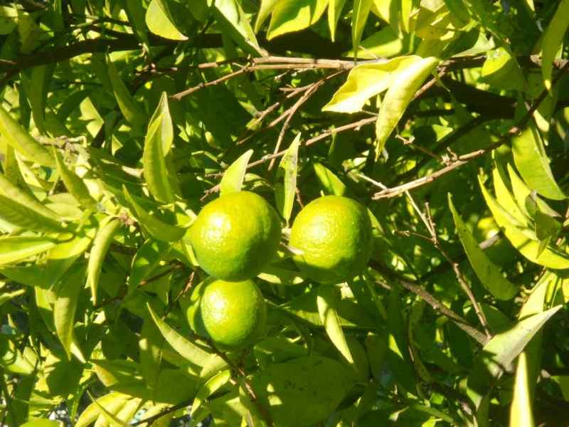 Citrus deliciosa 'Arrufatina' 1
