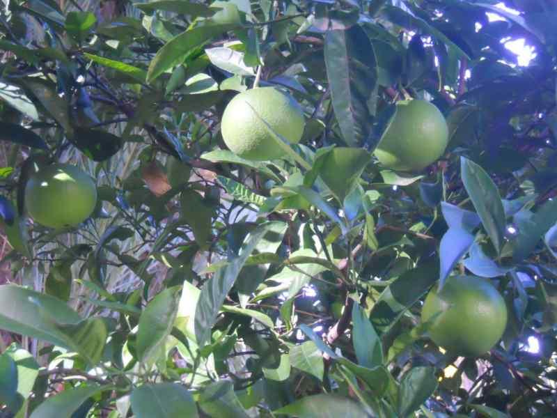 Citrus sinensis 'Washington' 2