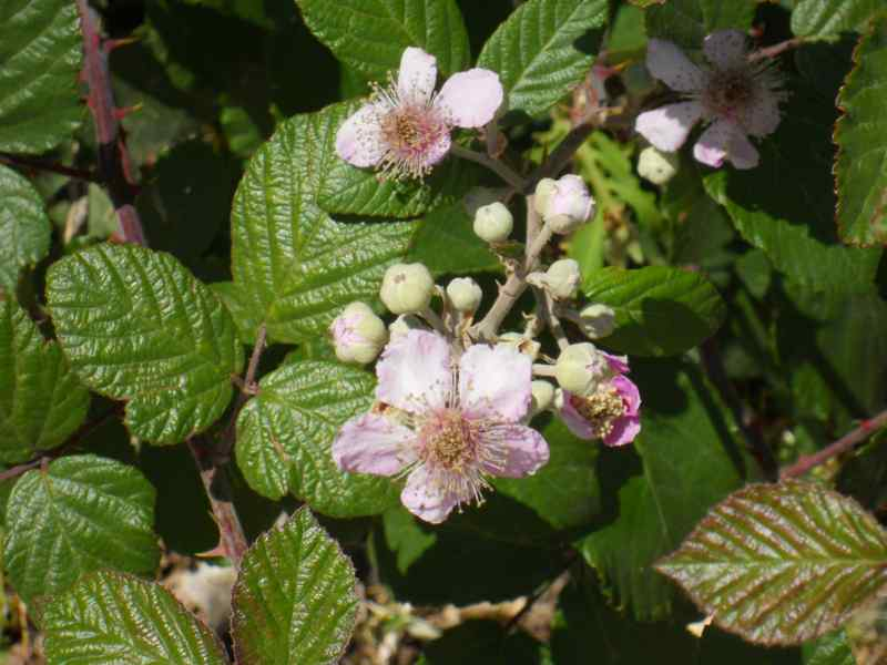 Rubus fruticosus 1