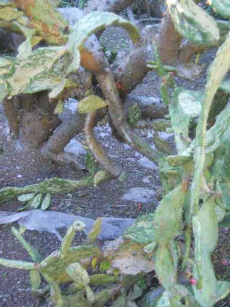 Opuntia monacantha 'Variegata' v 1