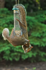 Sharing by leezie5. Two squirrels sharing food hanging from a bird feeder. Used under Creative Commons license Attribution-NonCommercial-NoDerivs 2.0 Generic.