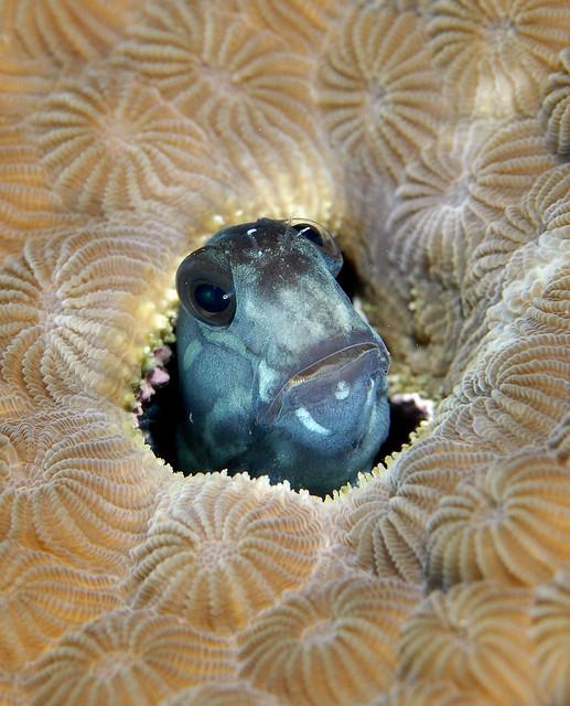 034_adj_DSC1399 blenny in coral