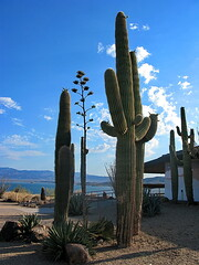 Saguaros by Lake Pleasant Visitor Center