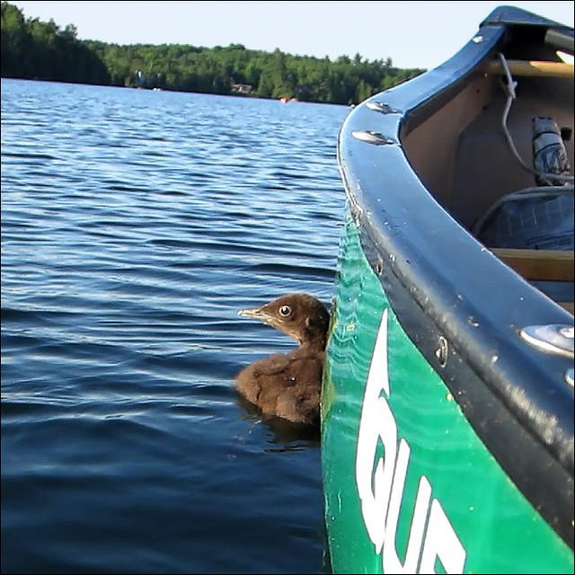 Baby loon hugs the canoe