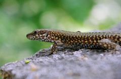 smooth newt(0.0), newt(0.0), green lizard(0.0), lissotriton(0.0), lacerta(0.0), lacertidae(0.0), animal(1.0), reptile(1.0), lizard(1.0), macro photography(1.0), gecko(1.0), fauna(1.0), close-up(1.0), salamandridae(1.0), scaled reptile(1.0), wildlife(1.0),