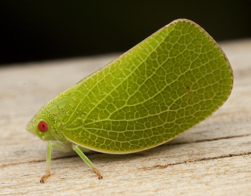 Planthopper - Acanalonia servilleir _0034