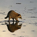 Reflected Raccoon