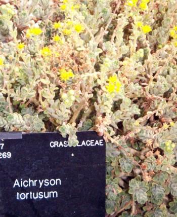 Aichryson tortuosum 5965587321_8d3475c827_o