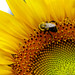 Sunflower and Bumble Bee - Straight and Close