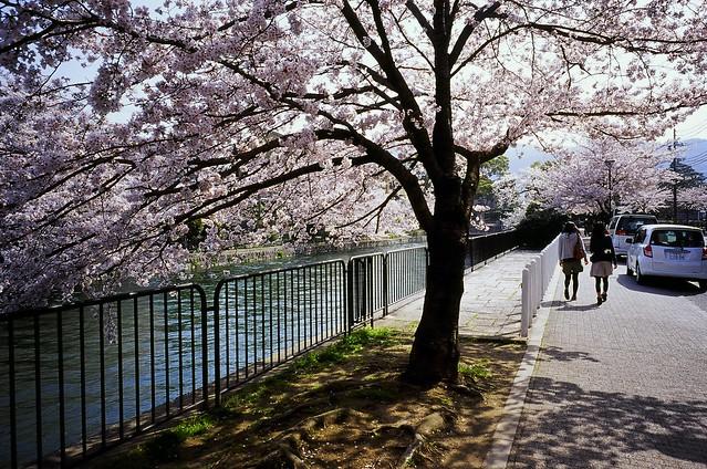 疎水べりの桜