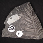 32: Alethopteris serlii (on right; seed fern) [Pennsylvanian, 300 mya, upper Carboniferous]