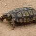 Hinged Tortoises - Photo (c) BERNARD, some rights reserved (CC BY-NC-SA)