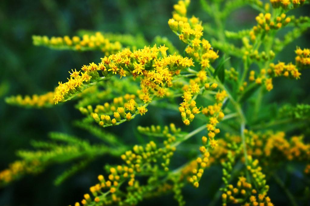 Tiny Tiny Yellow Flowers Lasmina Flickr