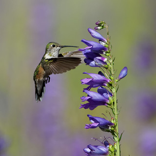 Rufous hummingbird (female) sizes up a wildflower