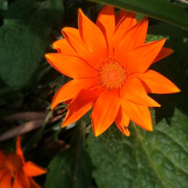 Good Morning Orange Flowers : Good morning sunshine orange green flora