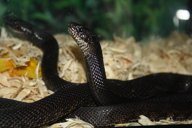 Black Pine snake (Pituophis melanoleucus lodingi) | Flickr ...