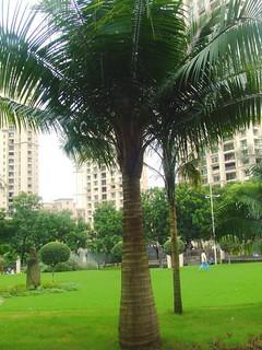 Majesty palm Ravenea rivularis Arecaceae 2011_08_05_Hiranandani gardens 3