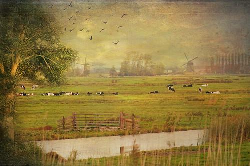 "texture nature dutch fauna landscape photo cows sony herfst meadow natuur september mills molen hollands weiland koeien plaatje pictures"" takenwithlove mygearandme maar73 sonyslta55 lenabemanna"