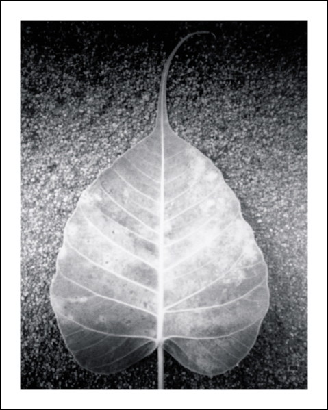 Bodhi Tree Leaf http://www.flickr.com/photos/36exposures/5886856210/