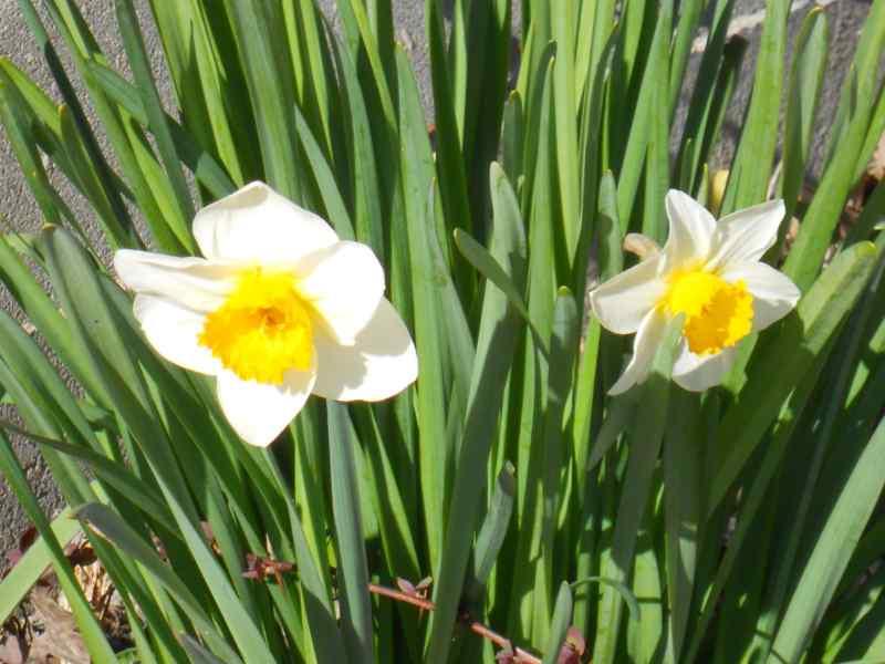 Narcissus trompeta hybridus 4