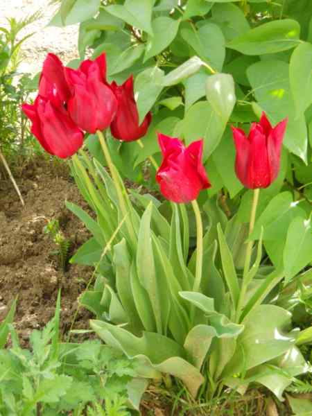 Tulipa fosteriana v 1